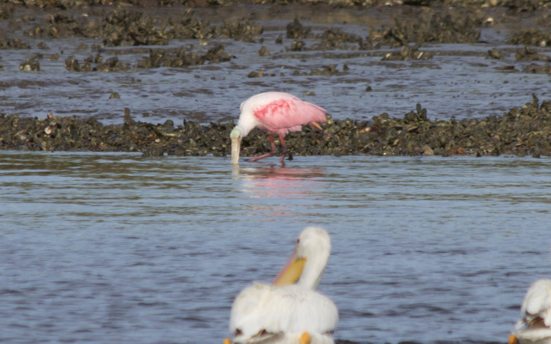 In Search of the Elusive Roseate Spoonbill